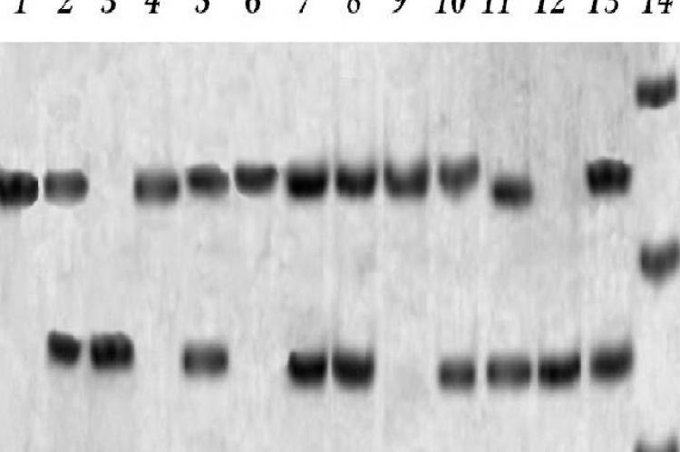 Lane 14 is for the DNA marker, showing bands of 66, 82 and 100 bp