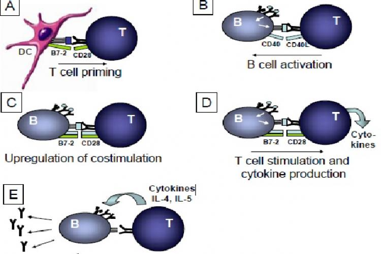 B cell and CD4 T cell interaction
