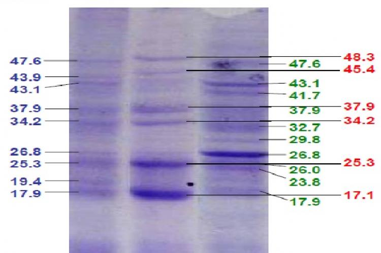 SDS-PAGE analysis of the effect of rosiglitazone on protein expression in pancreatic tissue homogenate from diabetic mice