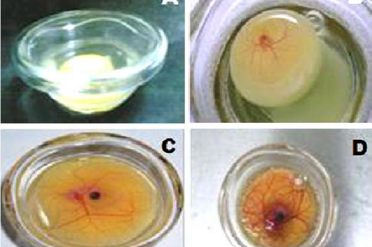 Developing chick embryos in shell-less culture