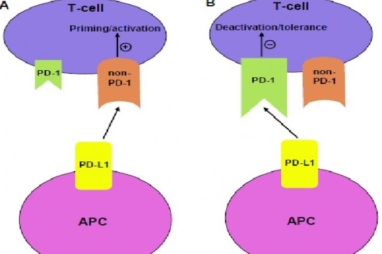 The positive or negative costimulatory behavior of PD-L1 may be governed by the relative availability of PD-1 and non PD-1 receptors on T cells