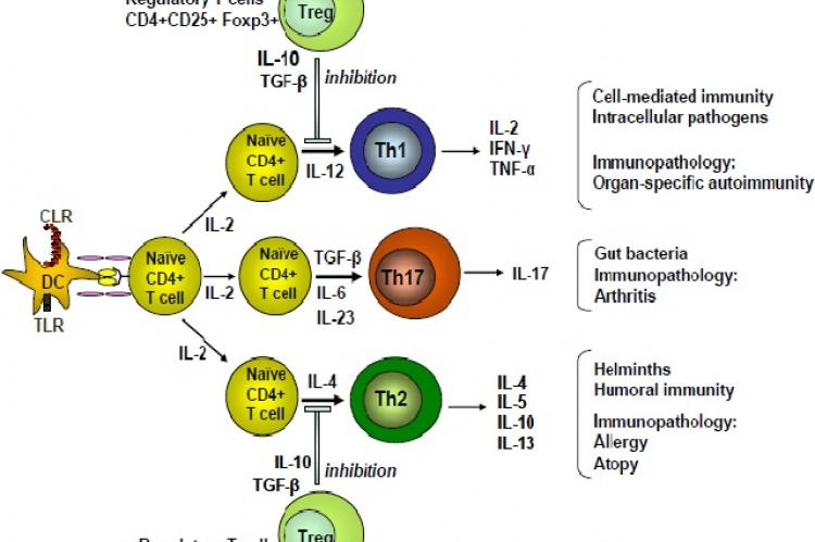 Functional development and activity of Th cell subpopulations