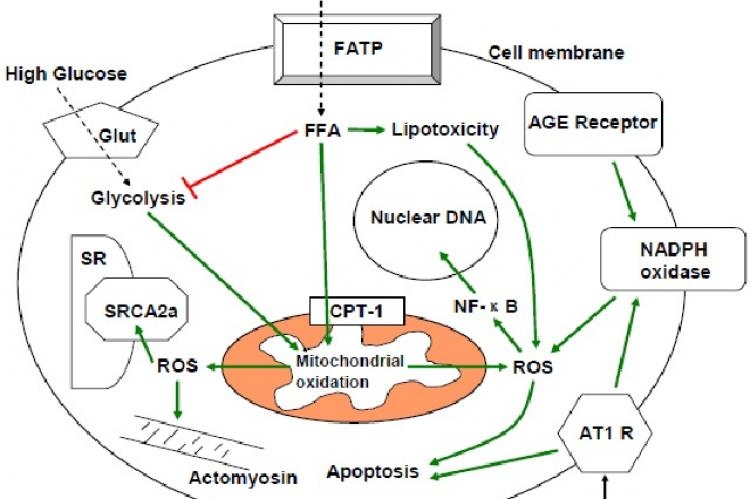 Interacting pathways of ROS production and injury in diabetic cardiomyocytes