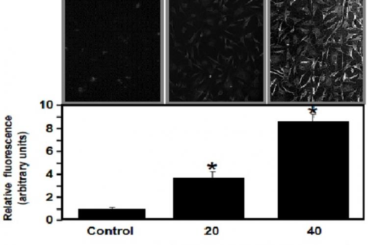 BR-dependent generation of reactive oxygen species in VEC