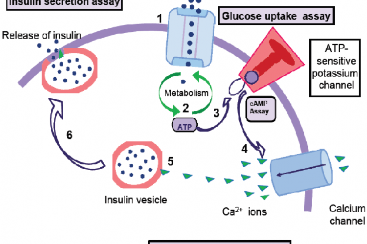 echanism of the cAMP-dependent pathway of insulin secretion
