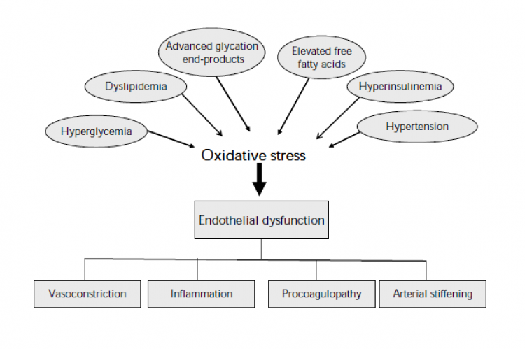 Pathogenesis and consequences of endothelial dysfunction in type 2 diabetes mellitus