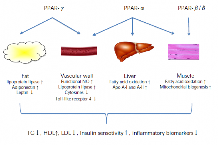 Figure 2. The three peroxisome proliferator-activated receptor (PPAR) subtypes have their unique and overlapping ligand specificity. Activating PPARβ/δ in muscle tissue leads to mitochondrial biogenesis and increased fatty acid oxidation. While PPARα and γ are activated in the liver, vascular wall, and adipose tissue, apolipoprotein A-I (ApoA-I) and A-II, nitric oxide (NO), lipoprotein lipase, and adiponectin are increased, and toll-like receptor 4, leptin, and inflammatory cytokines repressed. These change