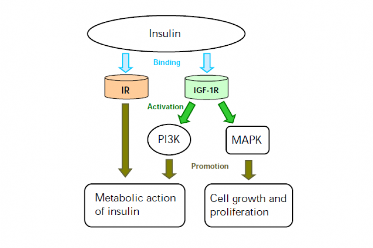 Figure 2. Insulin-binding and metabolic action of insulin.