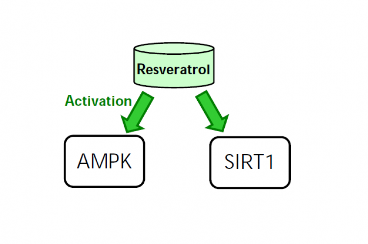 Figure 1. The main anti-hyperglycemic actions of resveratrol are attributed to the activation of SIRT1 with the involvement of AMPK.