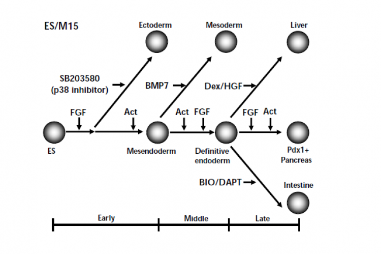 A schematic drawing of M15 cell-mediated signaling events.