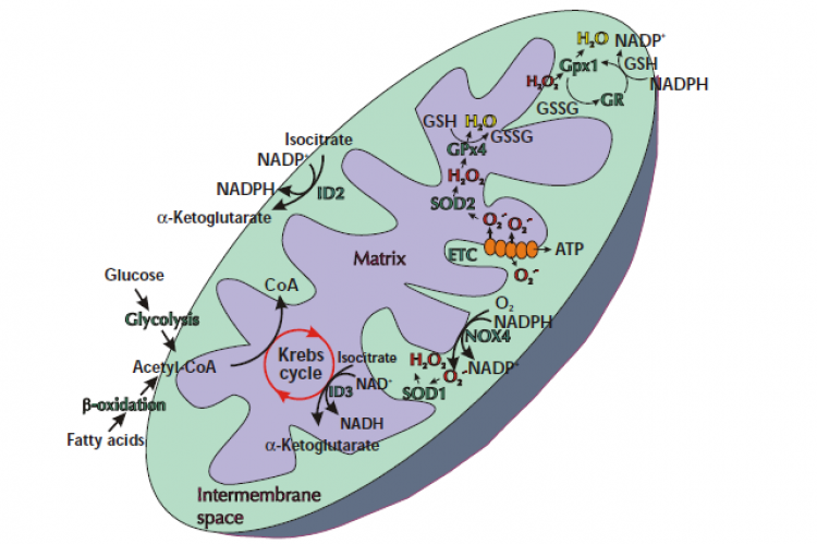 Redox signaling within mitochondria