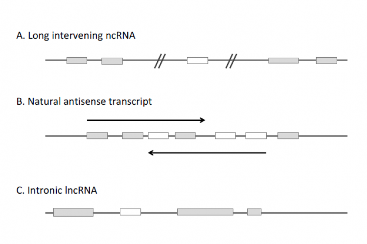 The three main categories of lncRNAs