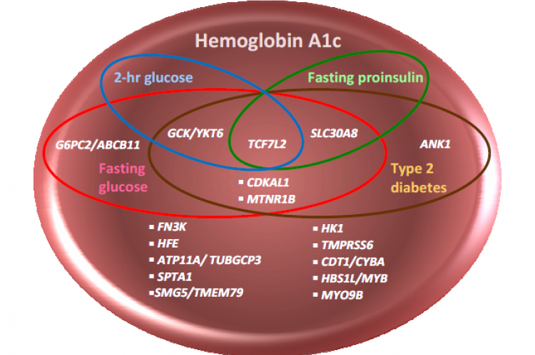 Venn diagram of genomic loci associated with HbA1c, fasting glucose, fasting proinsiulin, 2-hour glucose, and type 2 diabetes detected by GWAS.