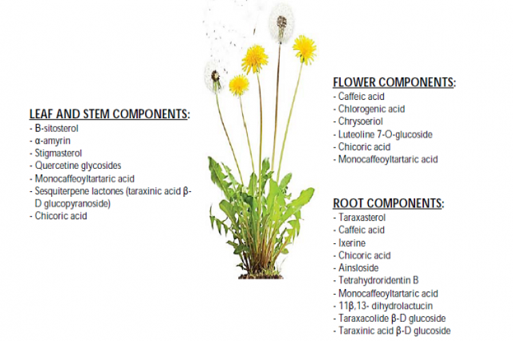 Image of dandelion and some components present at the level of flowers, stems, and leaves