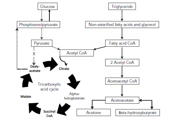 A simplified illustration showing the metabolic pathway for ketogenesis.