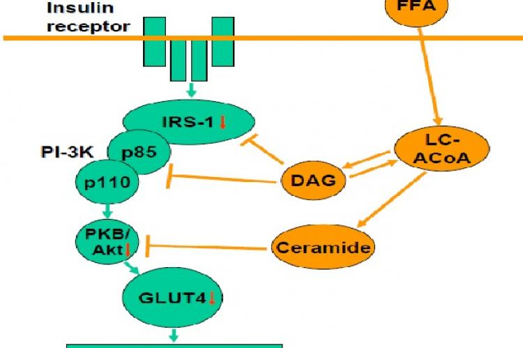 FFA-induced impairment in insulin signaling within muscle cells
