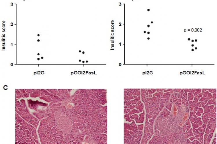 Mice vaccinated with DC expressing OVA and FasL (pGOI2FasL) have less islet-infiltrating lymphocytes compared to mice vaccinated with control DC (pI2G)