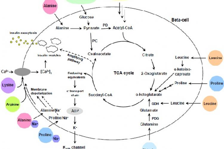 Schematic diagram of insulin secretion in beta-cells stimulated by glucose and amino acids