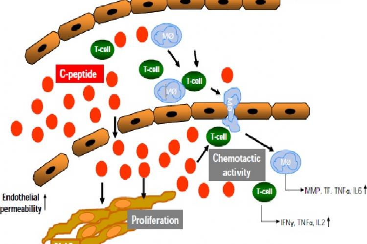 Potential role of C-peptide in early atherogenesis in patients with insulin resistance and early type 2 diabetes mellitus
