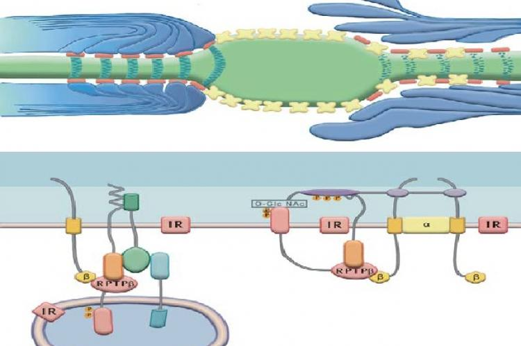 Schematic depiction of paranodal degeneration of the paranodal apparatus in diabetic nerve (top panel, right side) as compared to a normal paranode (top panel, left side)