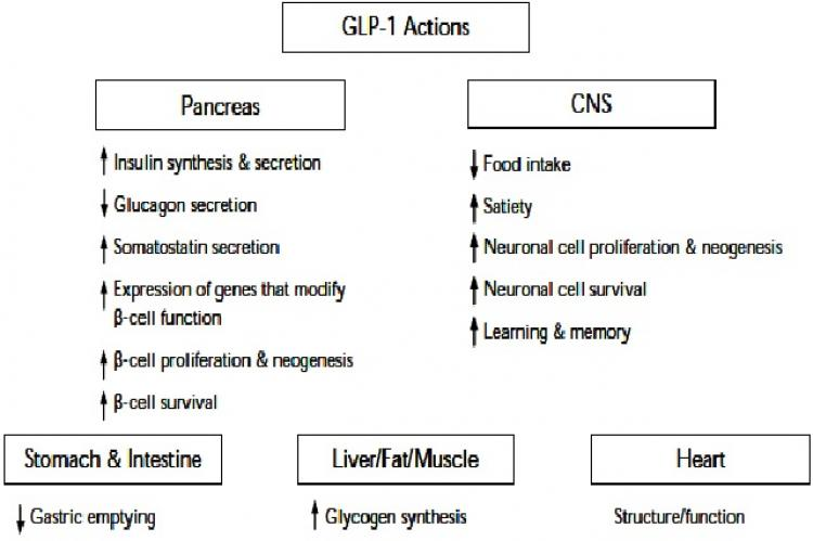 Glucagon-like peptide-1: pancreatic and extrapancreatic actions