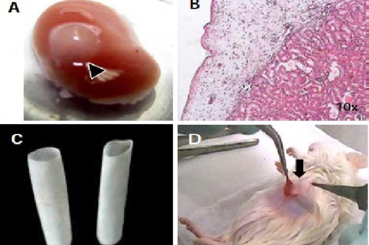 In vivo transplantation study