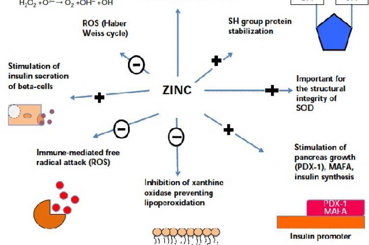 Role of zinc as an antioxidant