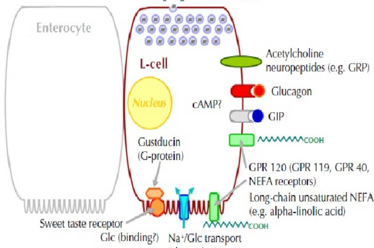 Proposed mechanisms involved in stimulating L-cell secretion