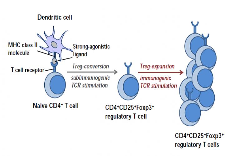 Generation of extrathymic regulatory T (Treg) cells