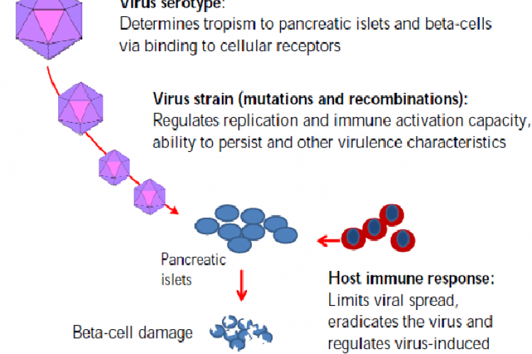 Viral and host factors regulating the risk of virus-induced beta-cell damage