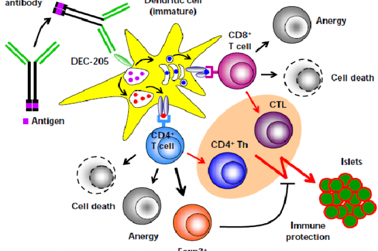 Mechanisms of Ag-specific induction of peripheral T cell tolerance through DEC-205+ DCs