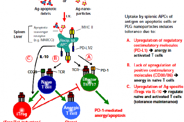 Proposed mechanisms of tolerance induced by antigen-coupled apoptotic cells and Ag-coupled PLG nanoparticles