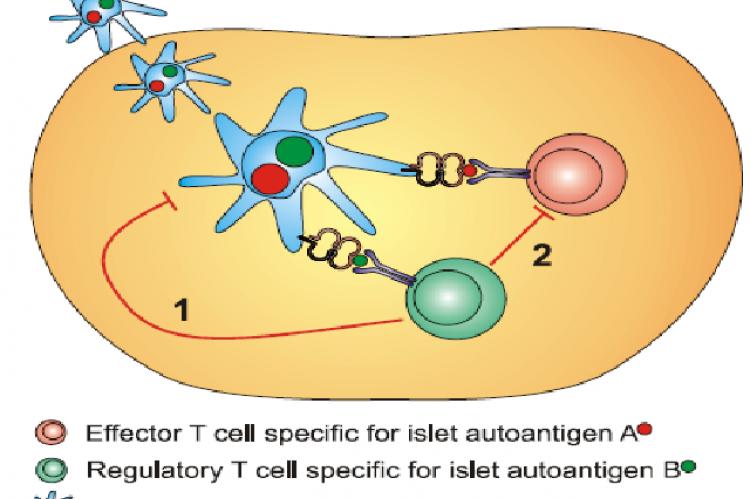 "Antigen-specific tolerance and ""linked suppression"""
